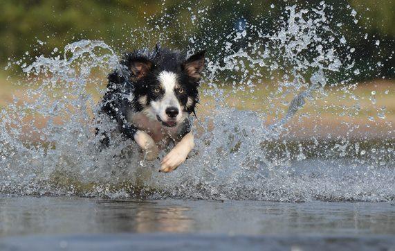 De nieuwe vaccinatie beschermt ook tegen nieuwe varianten van de ziekte Recent onderzoek heeft aangetoond dat er twee nieuwe serovars (varianten van de bacterie) voorkomen in het veld. De oude vaccinatie tegen de Ziekte van Weil beschermt niet goed tegen deze nieuwe varianten. Daarom is er een nieuwe vaccinatie ontwikkeld, die ook tegen deze nieuwe varianten goed beschermt: de L4 vaccinatie. Om op deze enting een goede afweer op te kunnen bouwen, moet de vaccinatie bij de hond geboosterd worden. Dat wil zeggen dat de vaccinatie 3 tot 6 weken na de eerste enting met het nieuwe vaccin herhaald wordt.